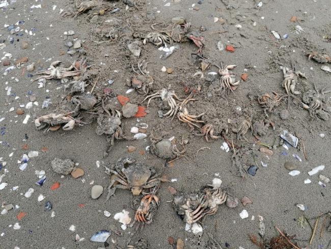 Silivri sahilinde ölü yengeç tedirginliği