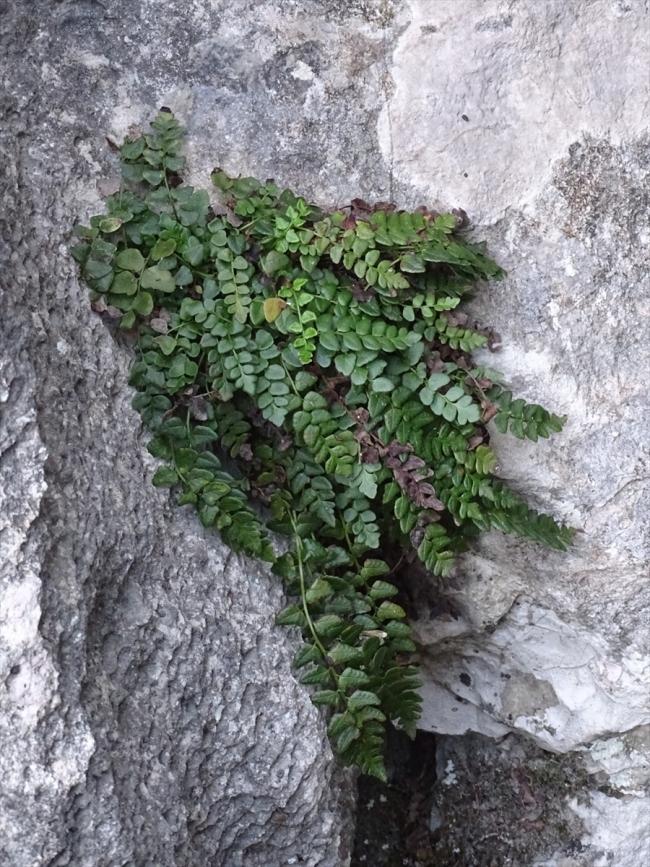 20200612 2 42932613 55871748 Web Küre Dağları'nda yeni bir endemik bitki türü keşfedildi 2