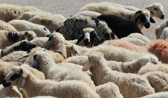 20200706 2 43304589 56474411 Web Diyarbakır Canlı Hayvan Borsası yeniden hizmete açıldı 4