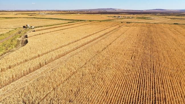 Diyarbakır'da mısırdan 400 bin ton rekolte bekleniyor