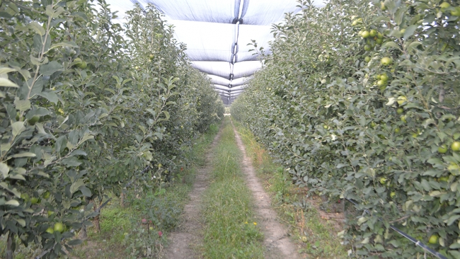 Afyonkarahisar'dan 3 kıtaya elma ihracatı