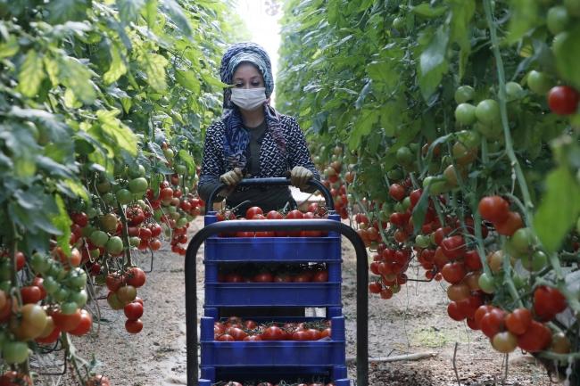 Türkiye'nin domates ihracatı 313 milyon 405 bin dolara yükseldi