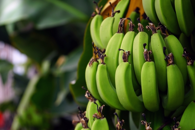 2020'de Antep fıstığı ve muz üretimi arttı, pamuk ve zeytin azaldı
