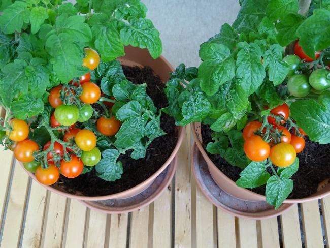 Evde saksıda sebze üretimi