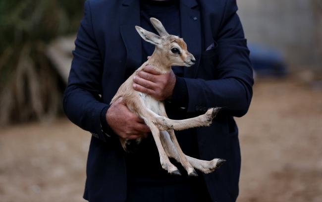Gazzeli hayvansever ceylanlara gözü gibi bakıyor. Fotoğraf: AA