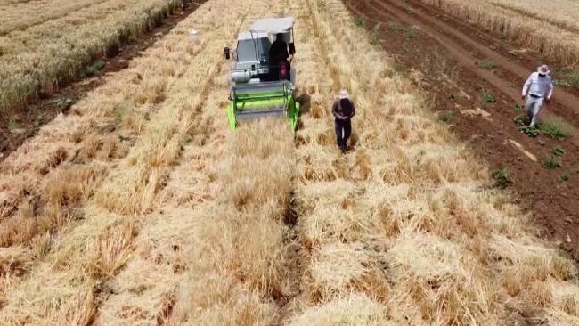 Adıyaman'da yerli tohum hasadı