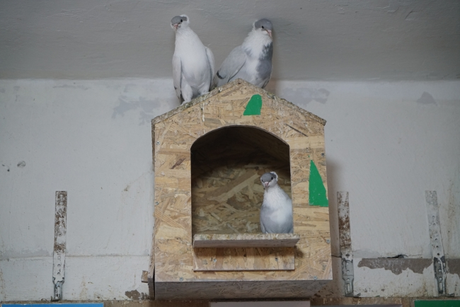 Kısıtlamayı güvercinleriyle geçirdiler
