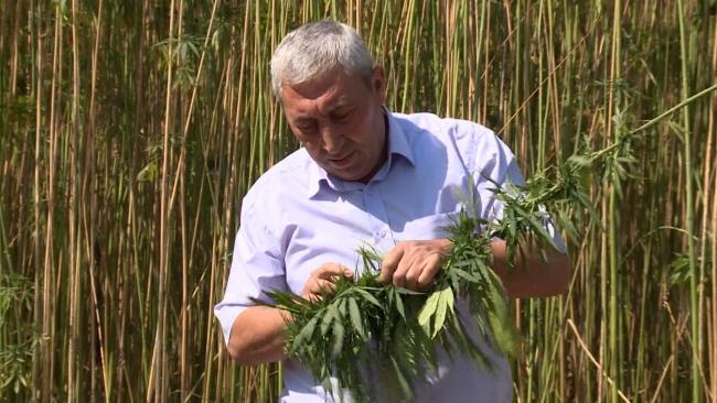 Türkiye'nin ilk yerli kenevir tohumları tescillendi