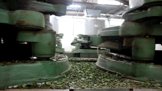 Fındığın başkenti Giresun'da çay üretimi de her geçen gün artıyor