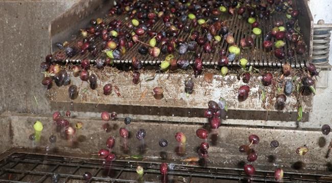 Hatay'da zeytinyağı zamanı: Litresi 20 liranın üzerinde satılıyor